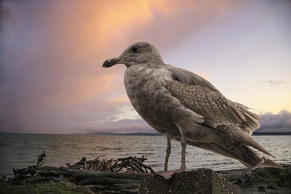 Lorraine Baum - Seagull At Sunset
