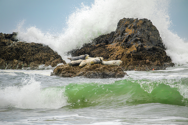 Kristina Rinell - Seal Rock Haul-Out