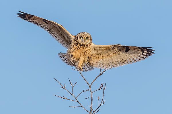 Morris Finkelstein - Short-Eared Owl Landing #2
