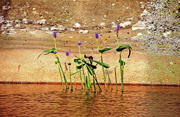 Debbie Oppermann - Showcasing Pickerel Weed