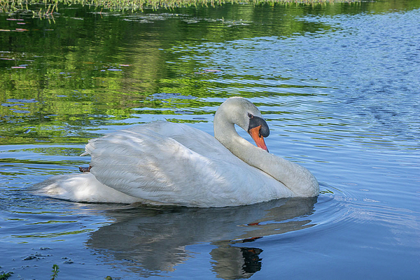 Linda Howes - Shy Swan