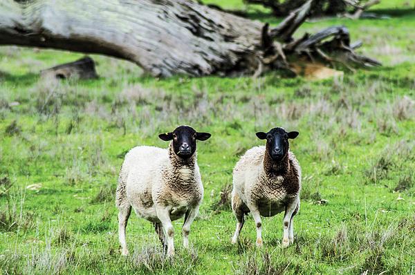 Naomi Burgess - Silence Of The Umm Sheep 2