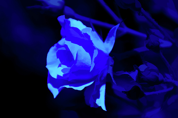 Aimee L Maher Photography and Art Visit ALMGallerydotcom - Simply Blue Rose Close Up