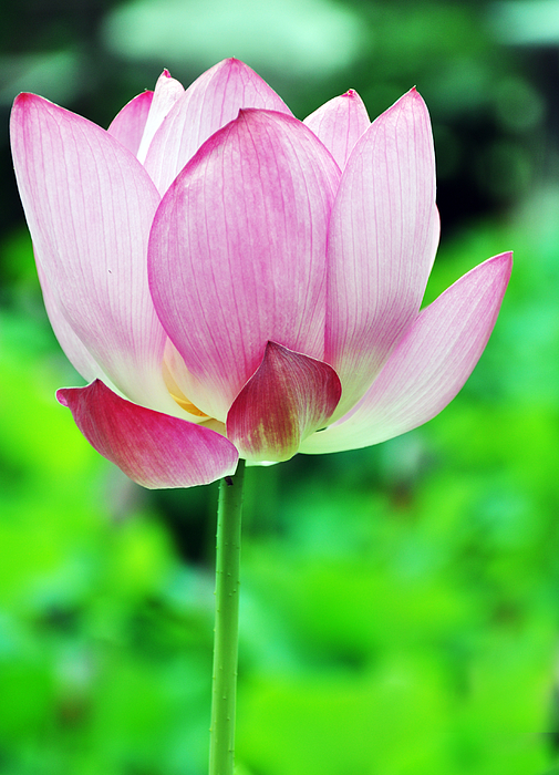 lotus single women Do you have a pearl question  in which he compares the qualities of a pearl with a woman's love  date of lotus single strand pearl necklace i would like to .