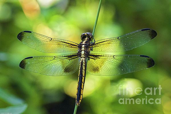 Mitch Shindelbower - Skimmer Dragonfly