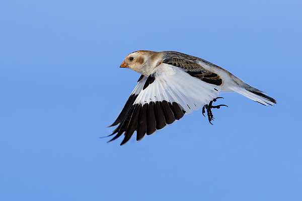 Mircea Costina Photography - Snow Bunting in flight