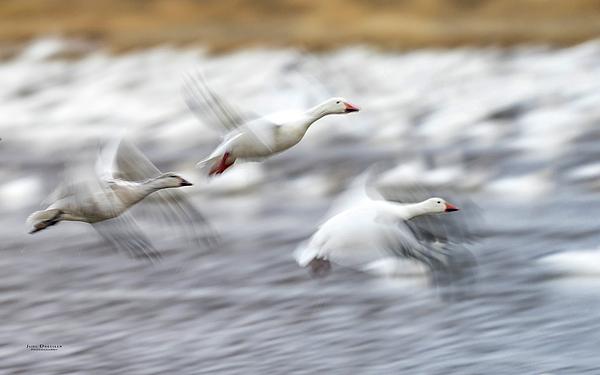 Judi Dressler - Snow Geese Flight Motion Blur