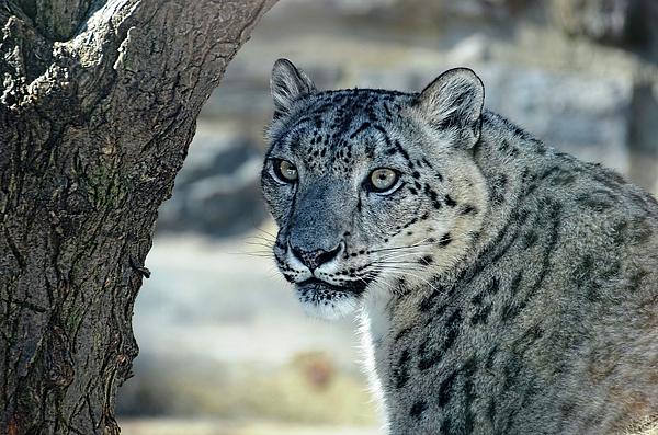 Ronda Ryan - Snow Leopard portrait