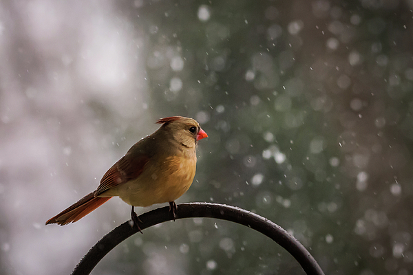 Terry DeLuco - Snow Showers Female Northern Cardinal