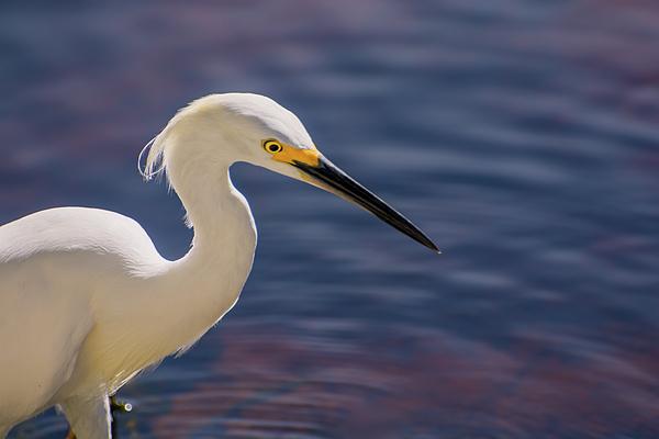 Zina Stromberg - Snowy egret close-up