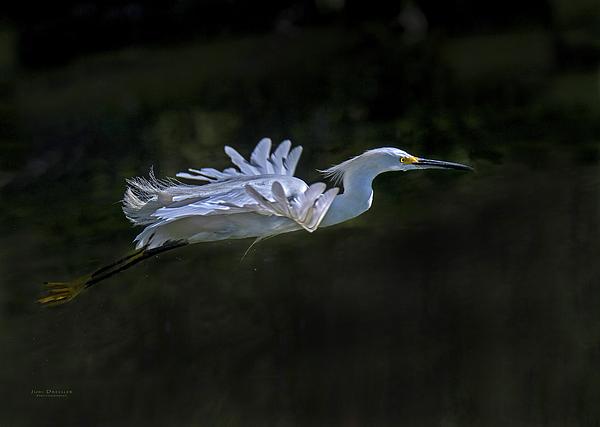 Judi Dressler - Snowy Egret flight