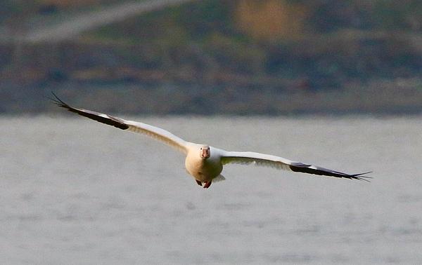 Charlaine Jean - Snowy goose landing