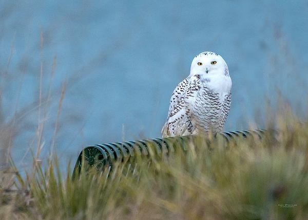 Judi Dressler - Snowy Owl on a park bench