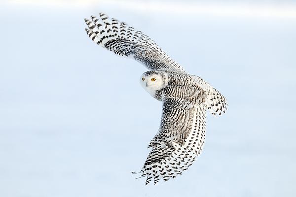 Scott  Linstead - Snowy Owl Topside