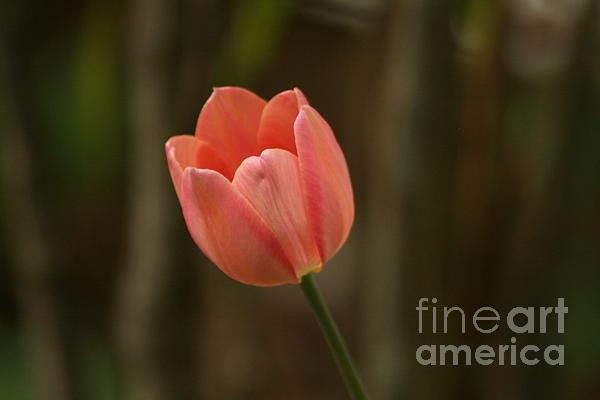 Tracy Ruckman - Soft Peach Tulip
