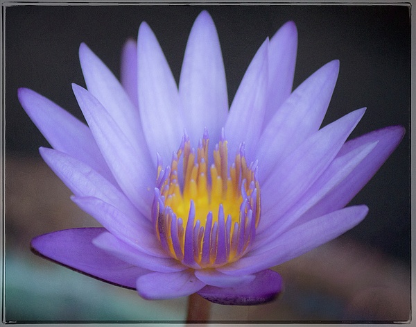 Teresa Wilson - Soft Purple Lotus