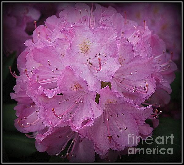 Dora Sofia Caputo Photographic Art and Design - Softly in Purple- Rhododendron
