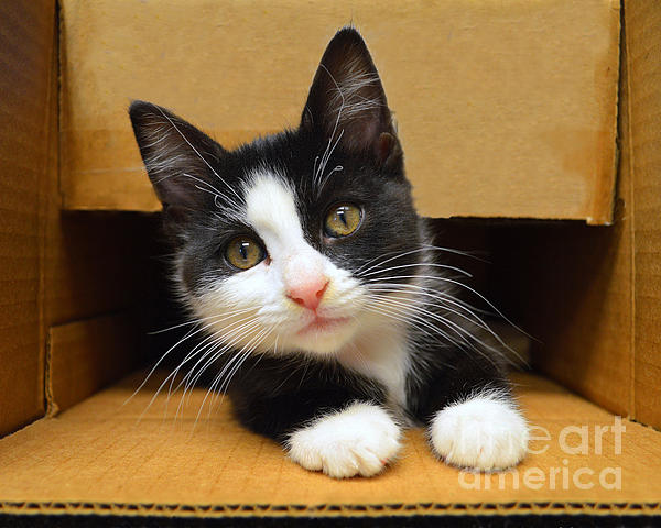 Catherine Sherman - Special Delivery Tuxedo Kitten