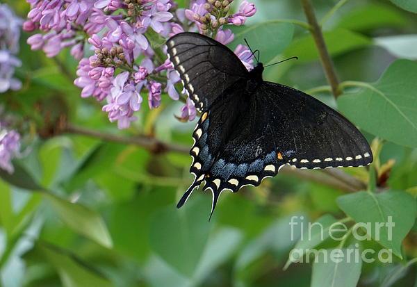 Brenda Bostic - Spicebush Swallowtail