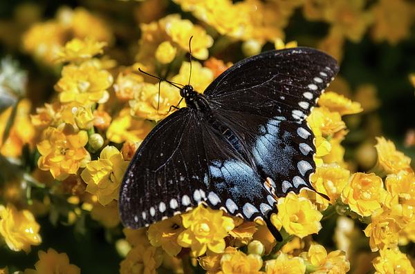 Saija Lehtonen - Spicebush Swallowtail Butterfly