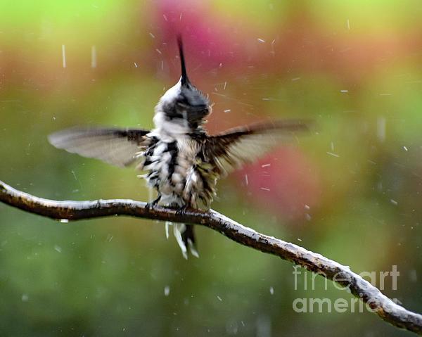 Cindy Treger - Spinning And Splashing - Ruby-throated Hummingbird