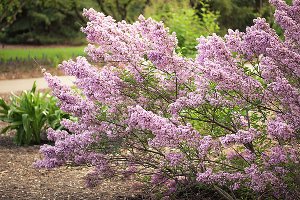 Joni Eskridge - Spring Lilacs in Full Bloom