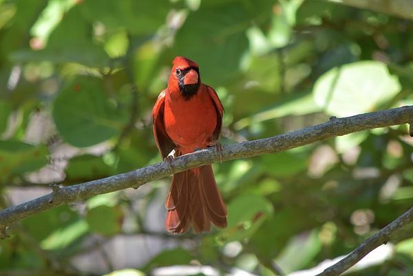 William Tasker - Spring Training Cardinal