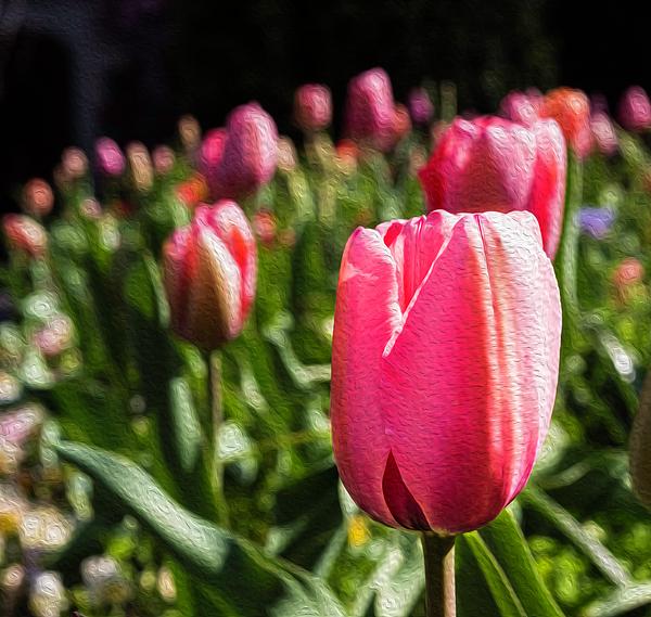 Cynthia Wolfe - Spring Tulips