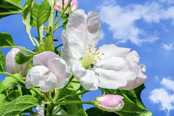 Jane Star - Springtime - Blooming tree - 8