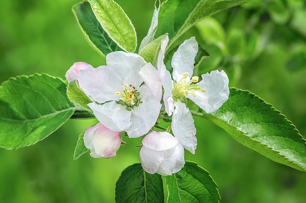 Jane Star - Springtime - Blooming tree