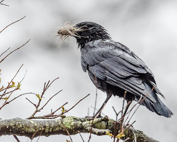 Morris Finkelstein - Springtime Crow