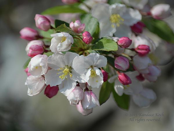 Kandace Koch - Springtime