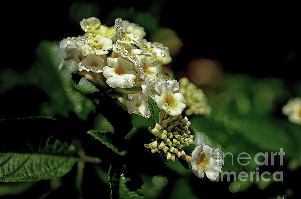 Michelle Meenawong - Sprinkles On Lantana Flower