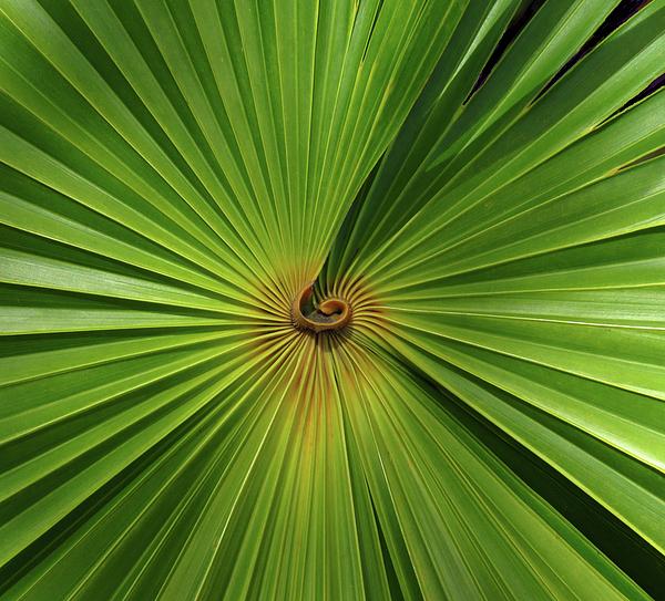 Rosalie Scanlon - Square Palmetto Leaf