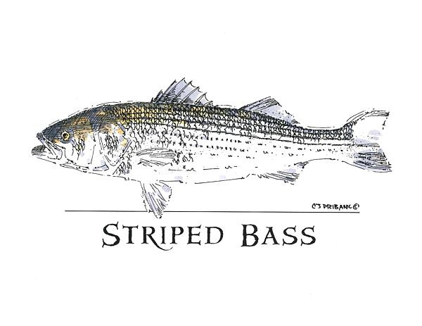 Chris Pribanic - Striped Bass