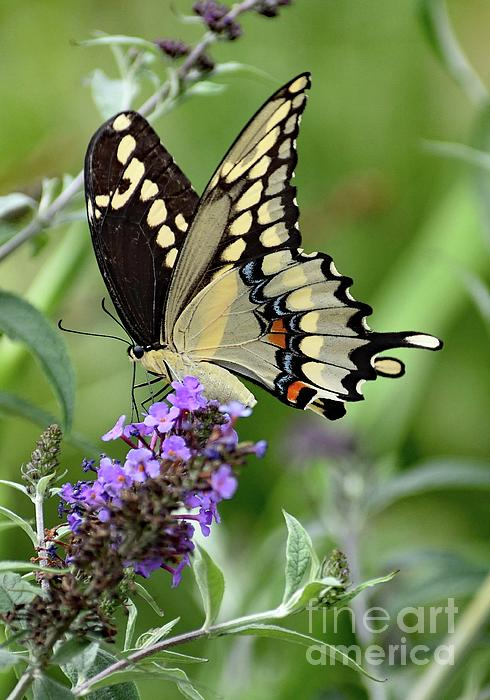 Cindy Treger - Stunning Giant Swallowtail
