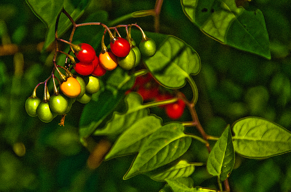 Summer Berries Photograph