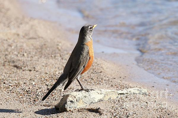 Angela Koehler - Sun Bathing Robin Swim beach