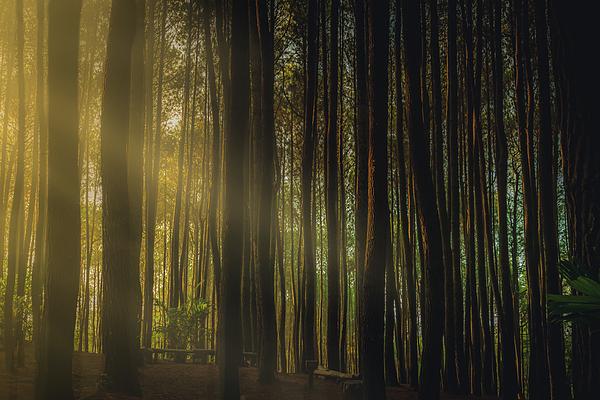 Erik Nuenighoff - Sun Streaks Through The Pine Forests of Indonesia