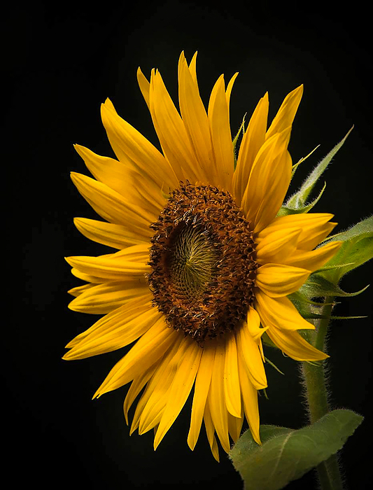 Lisa Bell - Sunflower From Birds food