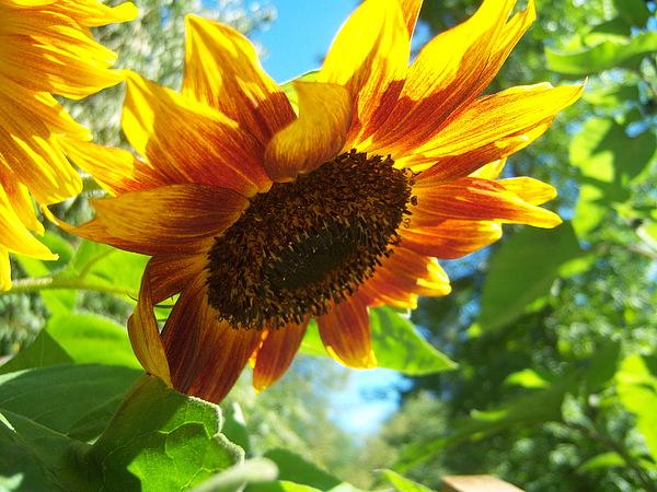 Ken Day - Sunflower  119