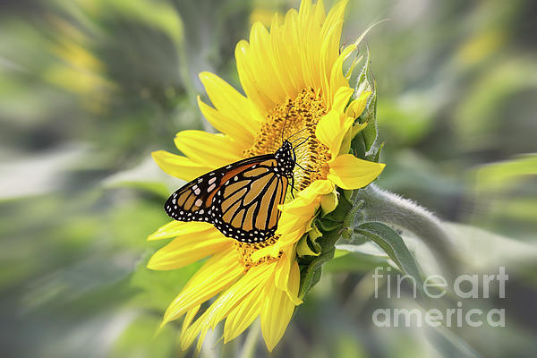 Sharon McConnell - Sunflower And Monarch Butterfly