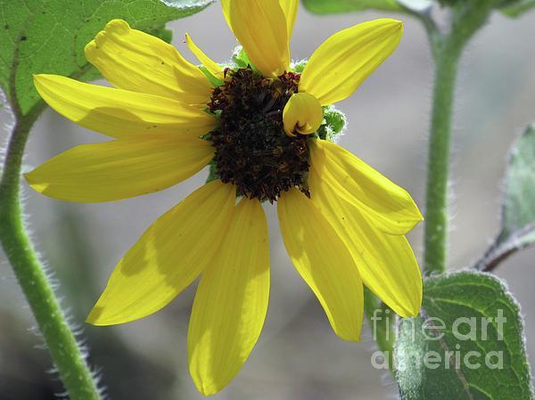 Tammie Sisneros - Sunflower Daisy