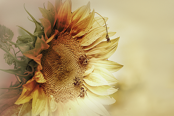 Susan Capuano - Sunflower Days