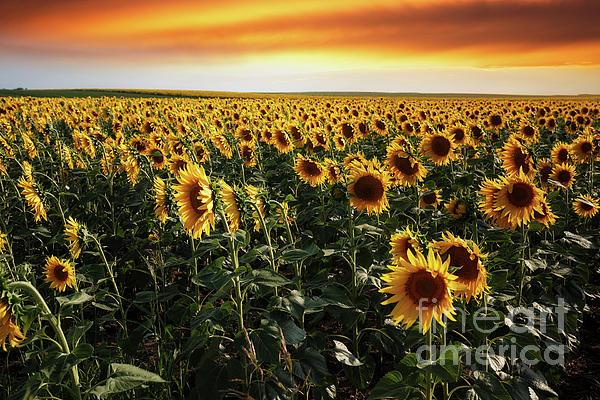 Slavica Stajic - Sunflower field