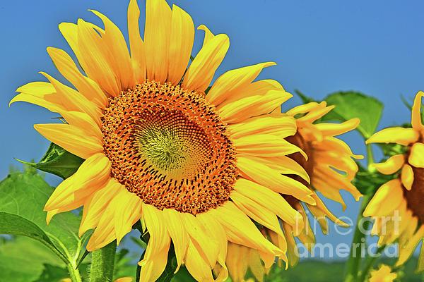 Regina Geoghan - Sunflower Happy