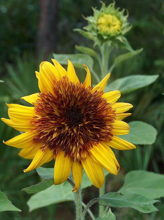 Sunflower Patch Photograph