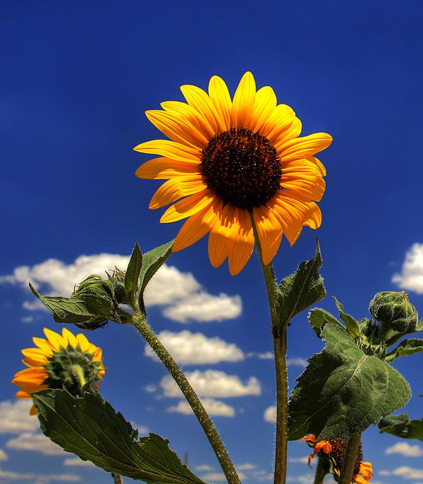 Pete Hellmann - Sunflower