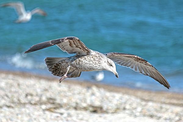Sharon Mayhak - Surf Drive Seagull