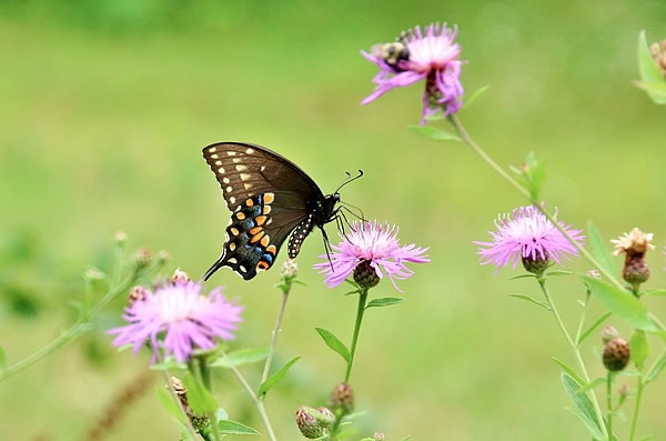 Karen Silvestri - Swallowtail On Wild Flowers